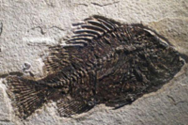 Fossiele vis
